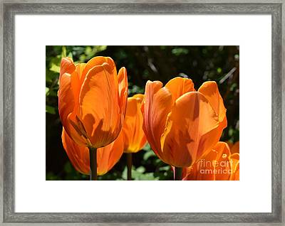 Orange Tulips Framed Print by Sharon Patterson