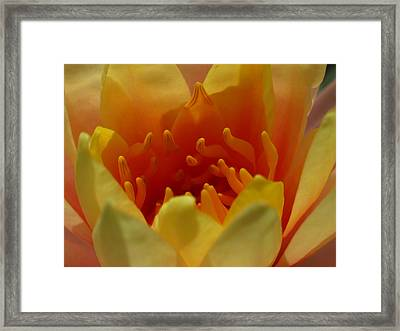 Orange Water Lily  Framed Print by Juergen Roth
