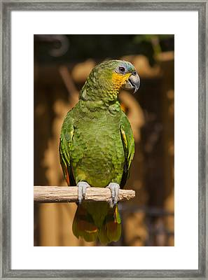 Orange-winged Amazon Parrot Framed Print by Adam Romanowicz