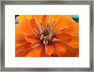 Orange Zinna Framed Print