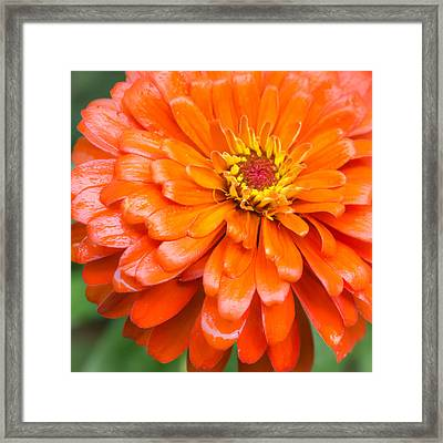 Orange Zinnia After A Rain Framed Print by Jim Hughes