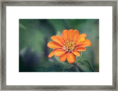 Orange Zinnia Framed Print