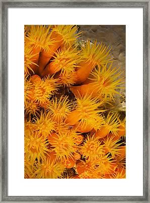 Orangecup Coral Framed Print by Dave Fleetham - Printscapes