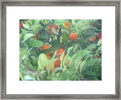 Oranges On The Tree Framed Print