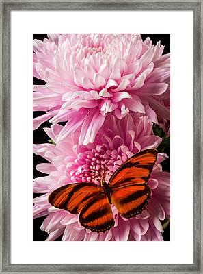 Oranges Wings On Pink Mum Framed Print by Garry Gay