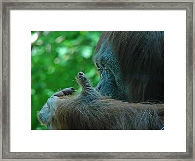 Orangutan 1 Framed Print