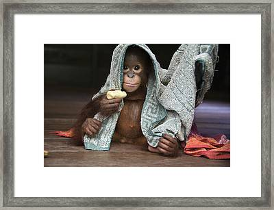 Orangutan 2yr Old Infant Holding Banana Framed Print by Suzi Eszterhas