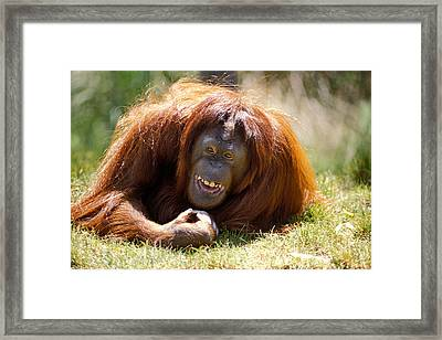 Orangutan In The Grass Framed Print