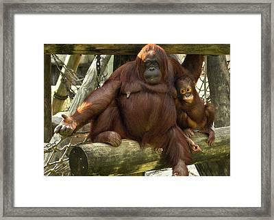 Orangutan Mother And Baby Framed Print