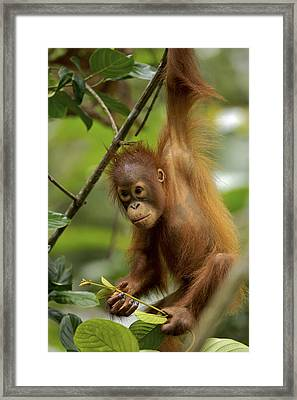 Orangutan Pongo Pygmaeus Baby Swinging Framed Print by Christophe Courteau
