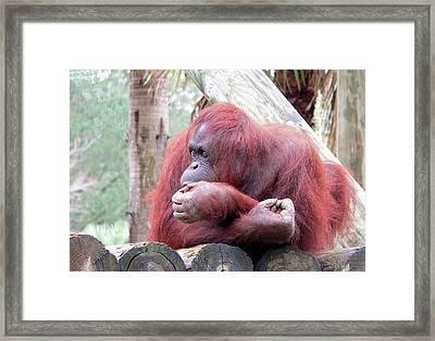 Orangutang Contemplating Framed Print by Rosalie Scanlon