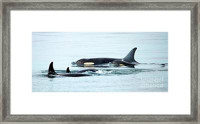 Orca Family Photo Framed Print by Mike Dawson