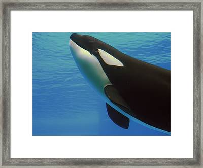 Framed Print featuring the photograph Orca by Meagan  Visser