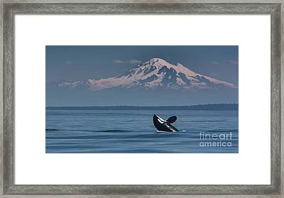 Orca - Mt. Baker Framed Print