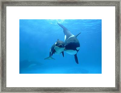 Orca Orcinus Orca Mother And Newborn Framed Print