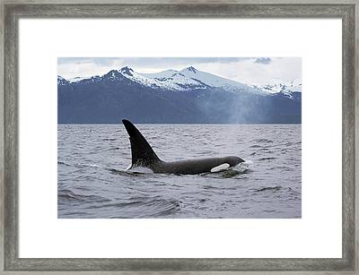 Orca Orcinus Orca Surfacing Framed Print by Konrad Wothe