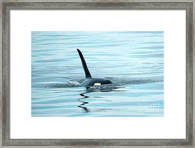 Orca Reflections Framed Print by Mike Dawson