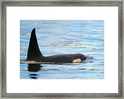 Orca Surfaces Framed Print by Mike Dawson