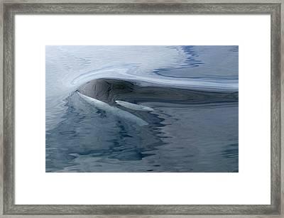 Orca Surfacing Southeast Alaska Framed Print by Flip Nicklin