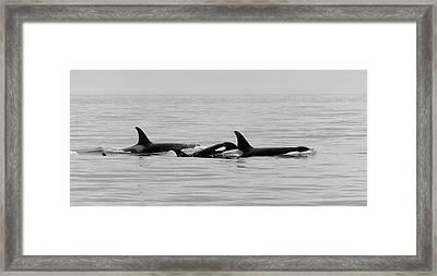 Orcas Bw Framed Print