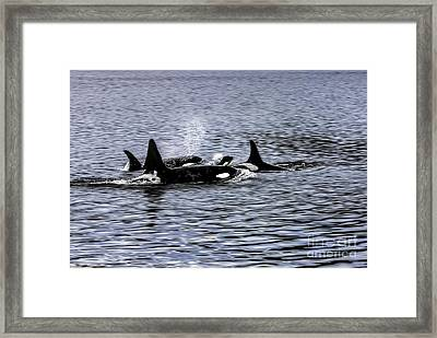 Orcas, The Killer Whales Framed Print by Kay Brewer