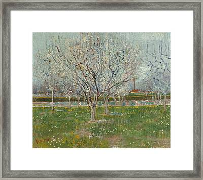 Orchard In Blossom  Framed Print by Vincent van Gogh