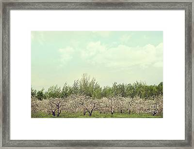 Orchard Of Apple Blossoming Tees Framed Print by Sandra Cunningham