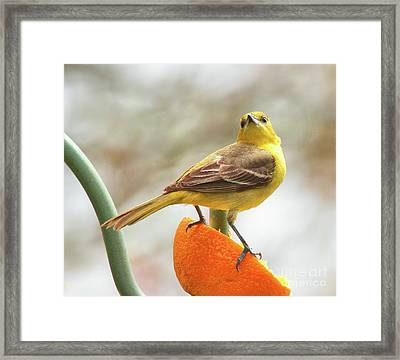 Framed Print featuring the photograph Orchard Oriole by Debbie Stahre