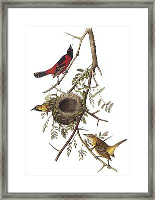 Orchard Oriole Framed Print by John James Audubon