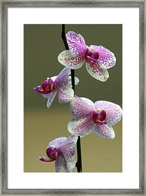Orchid 16 Framed Print by Marty Koch