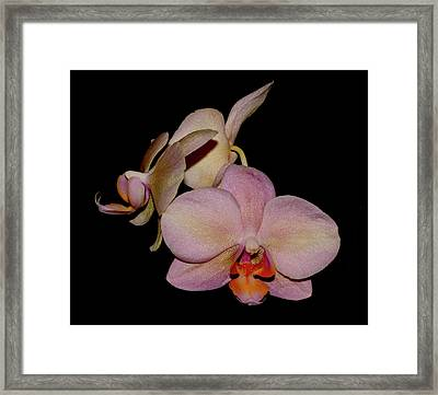 Orchid 2016 1 Framed Print by Robert Morin