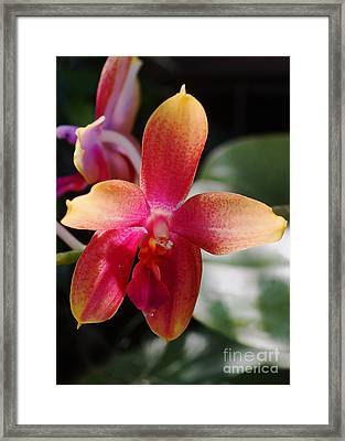 Orchid 258 Framed Print