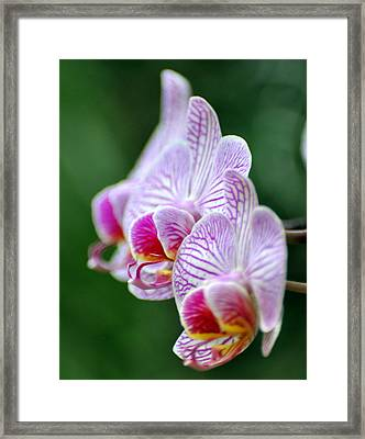 Orchid 30 Framed Print by Marty Koch