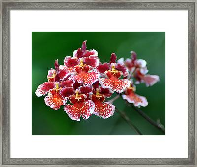 Orchid 31 Framed Print by Marty Koch