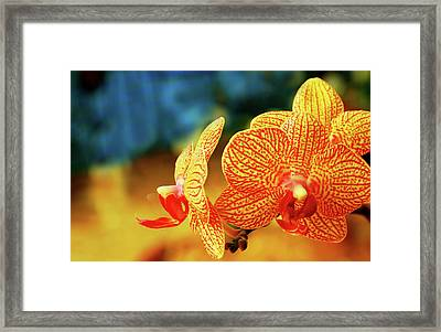 Orchid 9 Framed Print by Chaza Abou El Khair