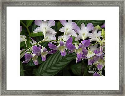 Orchid Beauty Framed Print