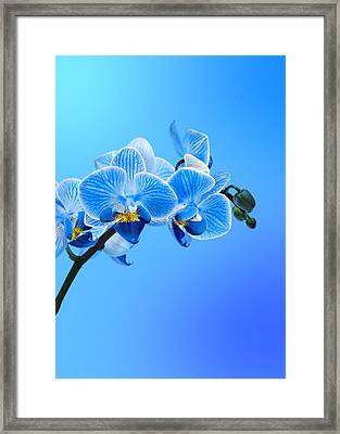 Orchid Blue Framed Print