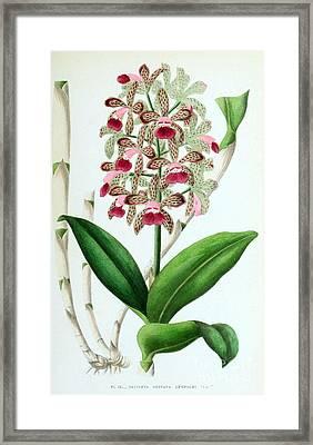 Orchid, Cattleya Guttata Leopoldi, 1880 Framed Print