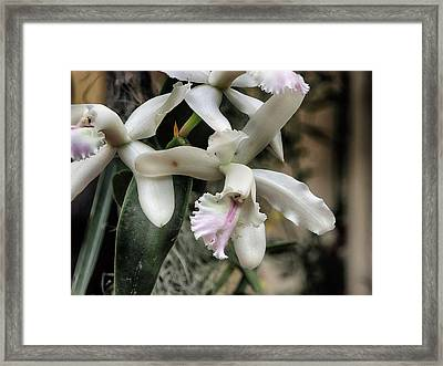 Orchid Cattleya Intermedia Framed Print by C H Apperson