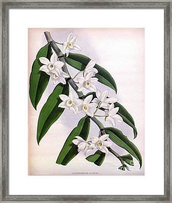 Orchid, Dendrobium Album, 1891 Framed Print by Biodiversity Heritage Library