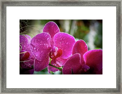 Orchid Dew Framed Print