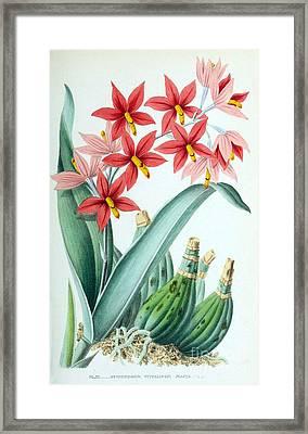 Orchid, E. Vitellinum Majus, 1880 Framed Print