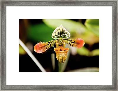 Orchid Flower Framed Print by Dan Pfeffer