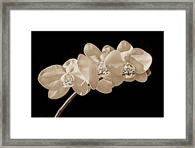 Orchid Flowers In Sepia Framed Print