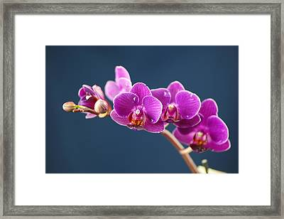 Orchid Framed Print by Jeff Swan