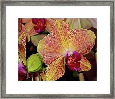 Orchid Framed Print by Lynda Lehmann