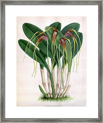 Orchid, Masdevallia Macrura, 1891 Framed Print