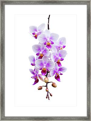 Orchid Framed Print by Meirion Matthias