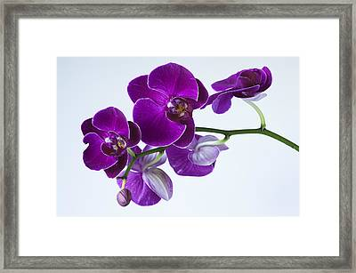 Orchid No. 2 Framed Print by Harry H Hicklin