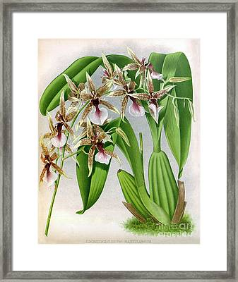 Orchid, Odontoglossum Hastilabiu, 1891 Framed Print
